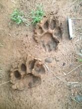 lion-pawprints