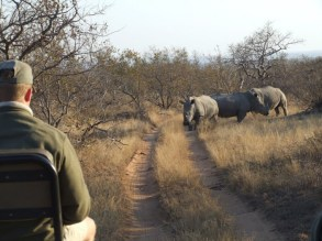 man-driving-jeep-with-rhino-ahead