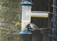 siskin-male-and-female-on-seed-feeder-in-garden