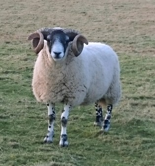 blackface-ram-with-stunning-curly-horns-in-field