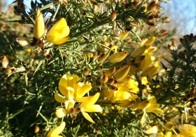 close-up-of-gorse-flowers
