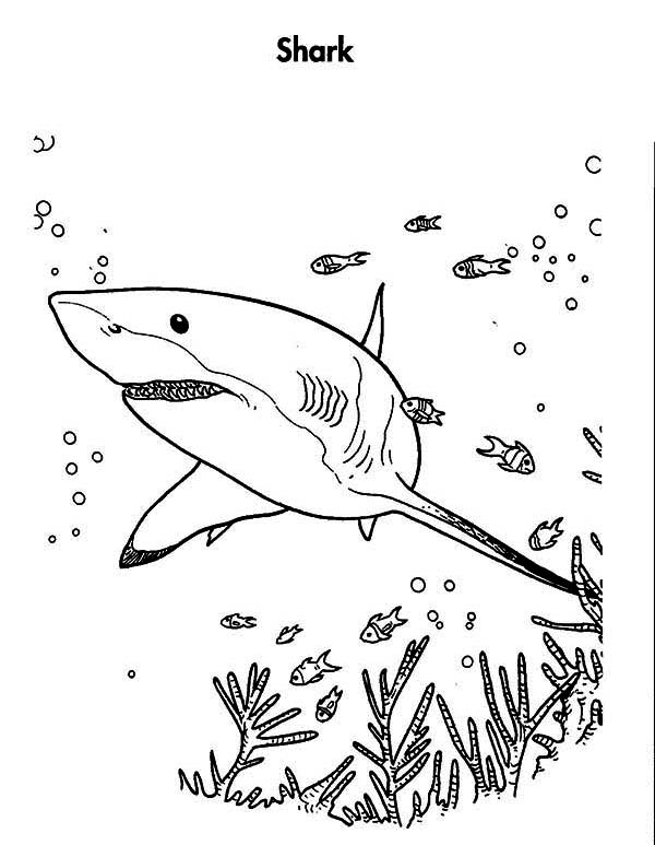 great white shark is hunting for the prey coloring page