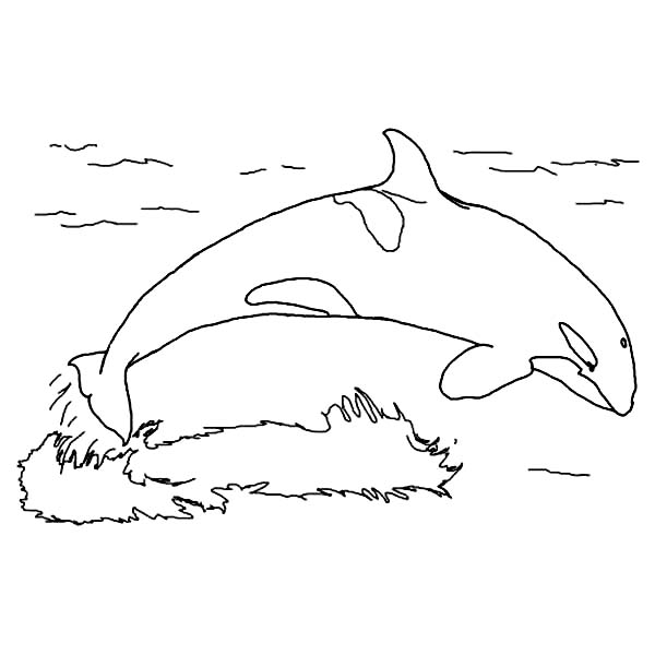 Orca The Killer Whale Jump On The Water Coloring Page