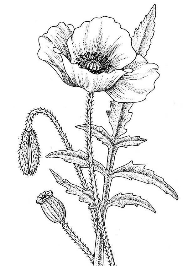 Awesome Drawing Of California Poppy Coloring Page : Kids