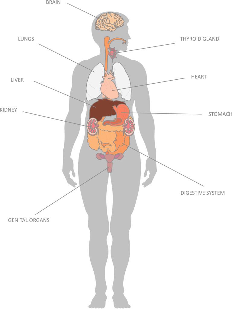 Internal Organs And Their Functions Kidspressmagazine Com