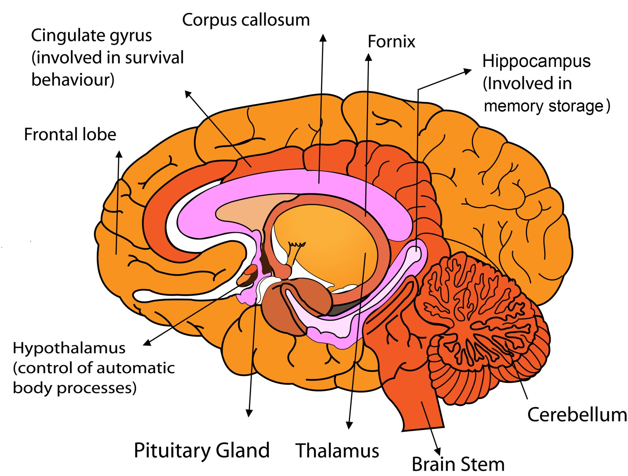 hight resolution of parts of the human brain
