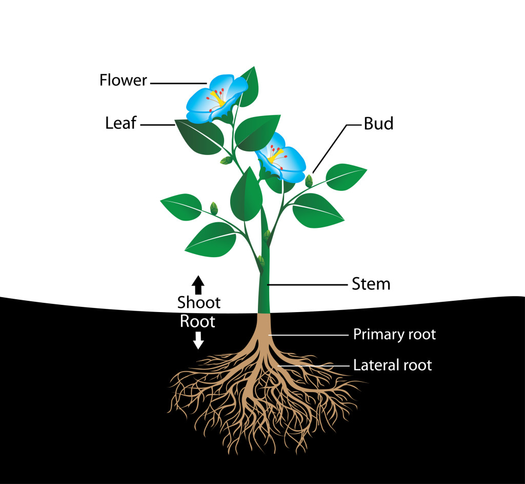 Parts Of Flowering Plants
