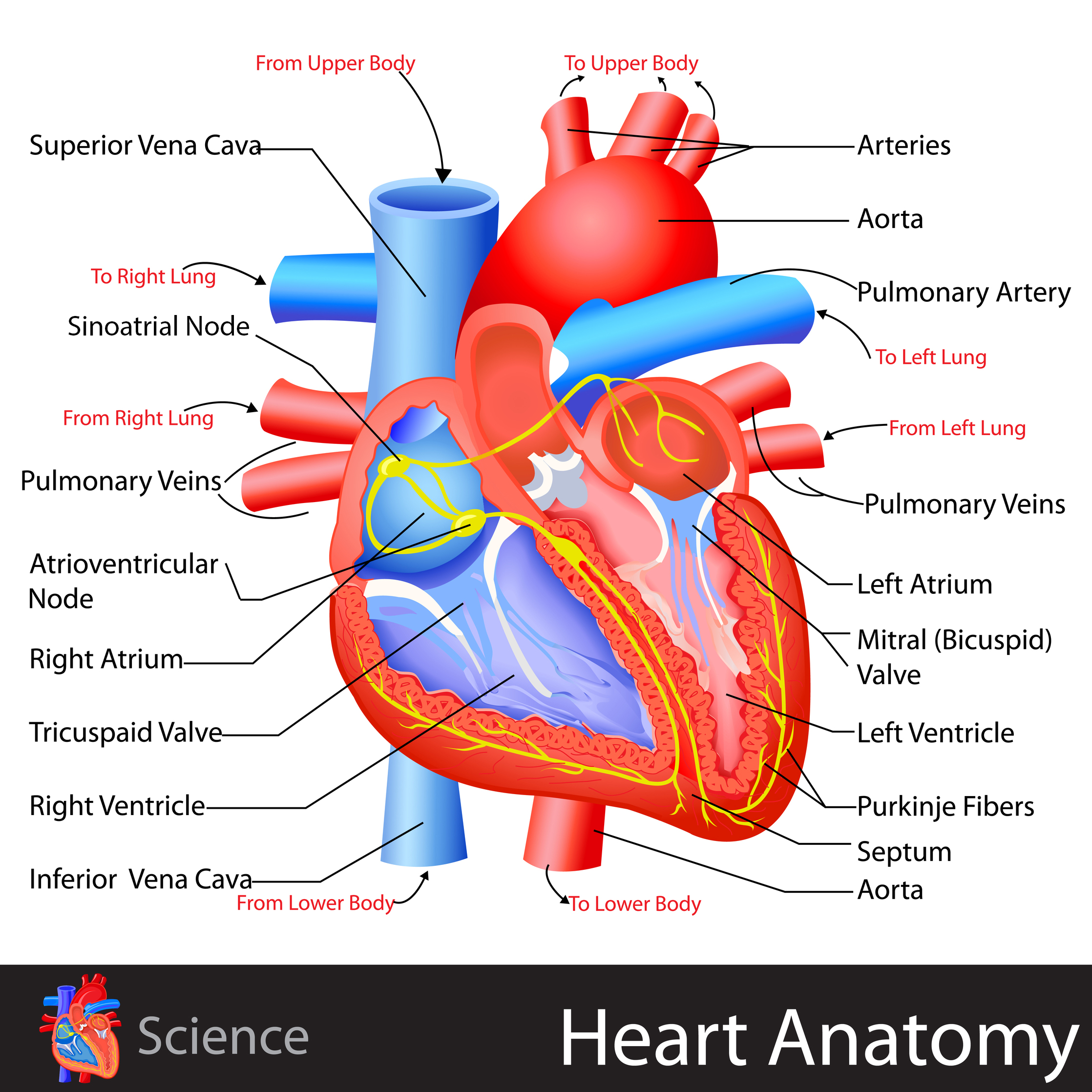 large heart diagram label 2003 mitsubishi eclipse fuel pump wiring anatomy kidspressmagazine