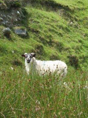 Irish Sheep- Kid World Citizen