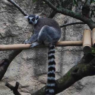 Madagascar Animals (+Lemurs!) at Zoos Near You