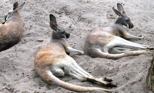 Kangaroos- Kid World Citizen