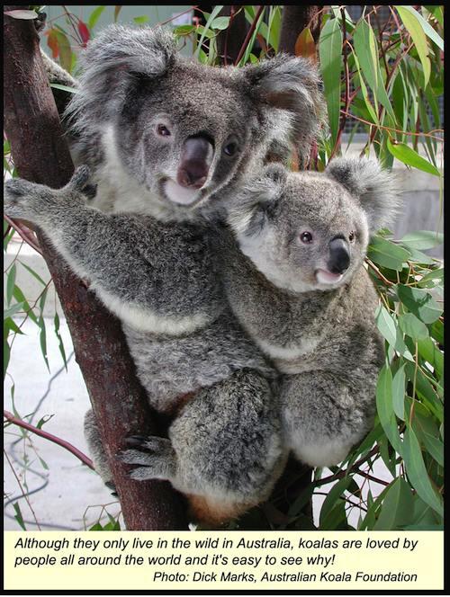 Koala Picture- Kid World Citizen