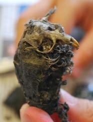 Skull in Owl Pellet- Kid World Citizen