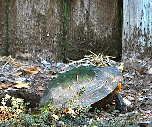 Turtle Laying Eggs- Kid World Citizen