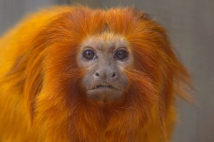 Golden Lion Tamarin- Kid World Citizen
