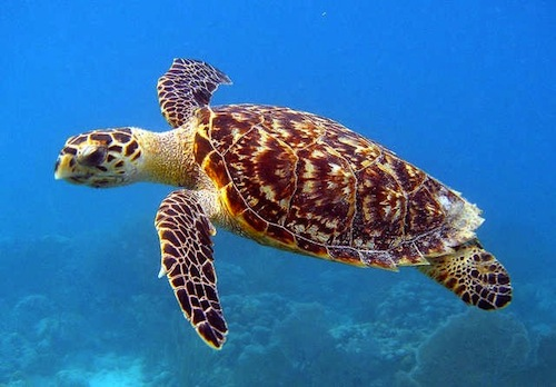 Hawksbill Sea Turtle- Kid World Citizen