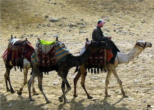 Camels at Giza Egypt Vacation- Kid World Citizen