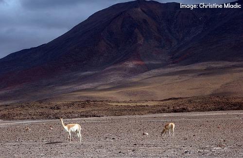 Alpacas Bolivia- Kid World Citizen