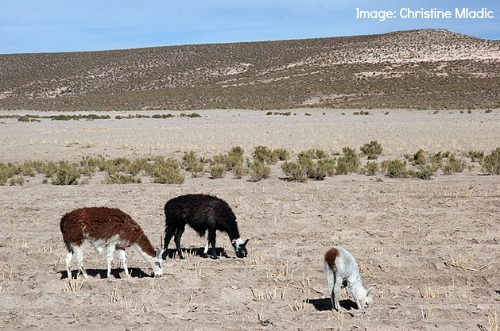 Llama Facts Bolivia- Kid World Citizen