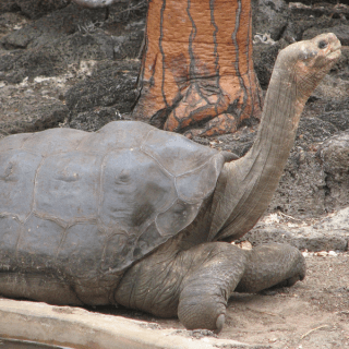 Lonesome George: the Giant Tortoise from the Galapagos Islands
