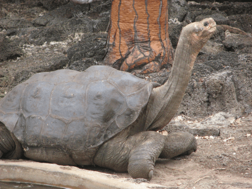 Lonesome George in profile
