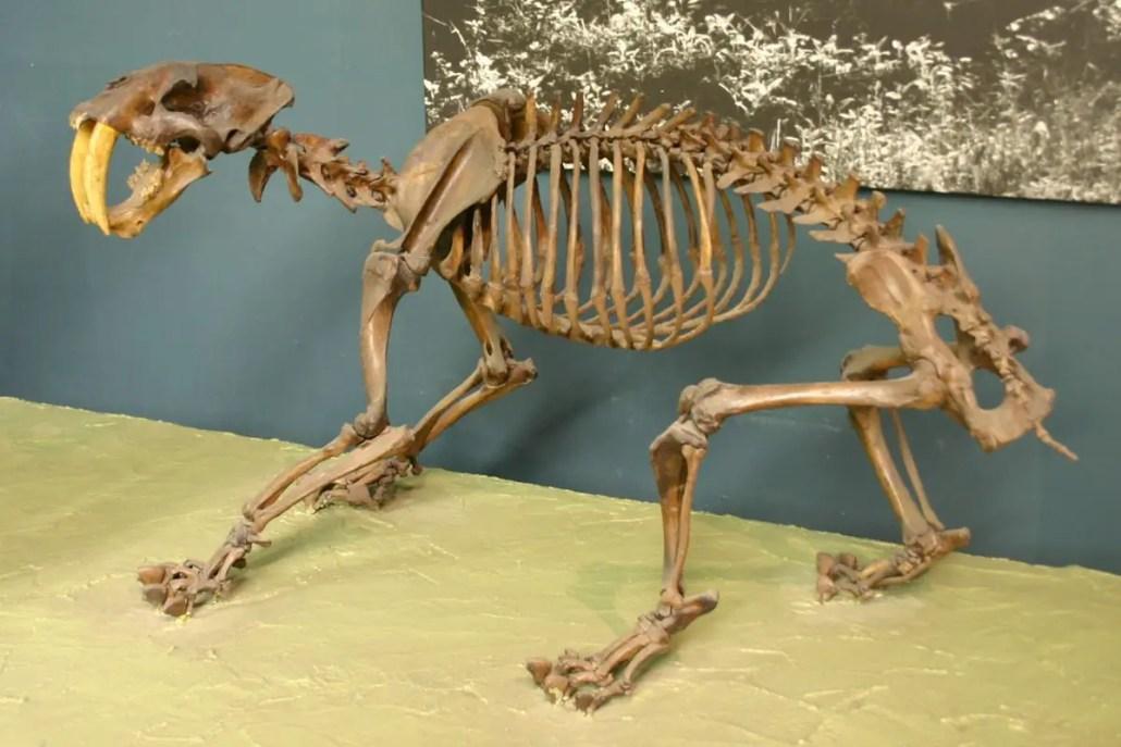 Smilodon Fossil