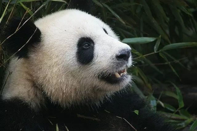 Giant panda facts for kids.