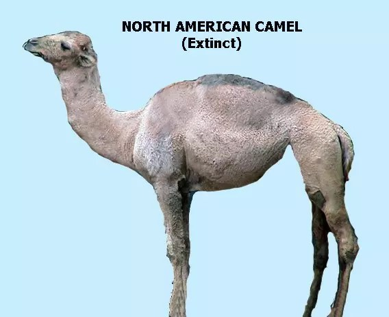 North american camel saber tooth tiger diet