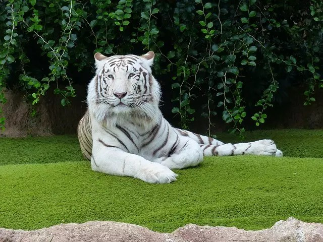 White Bengal Tiger Facts for Kids