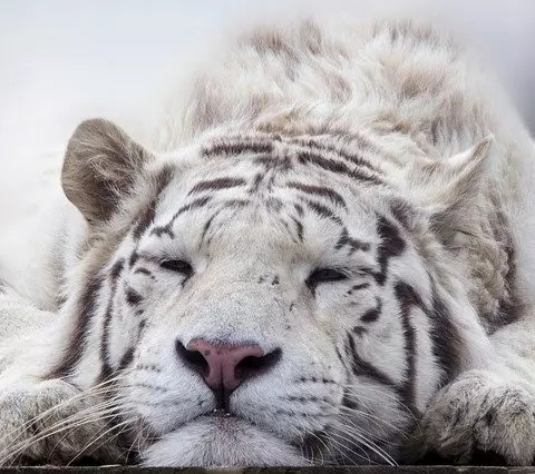 White Tiger Facts for Kids