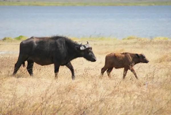 Cape Buffalo calf