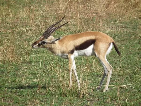 Thomsons Gazelle What do Cheetahs Eat