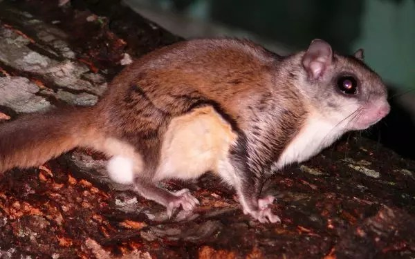 Flying squirrels - What do Barn Owls Eat