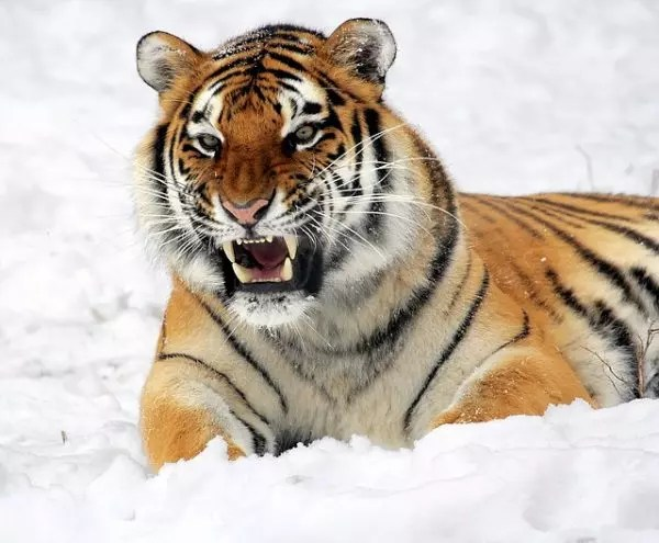 How Long Do Tigers Live