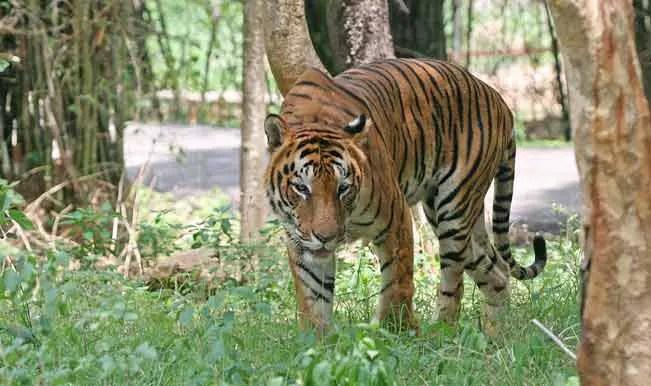 oldest tiger ever