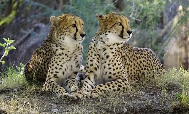 How fast can a Cheetah Run