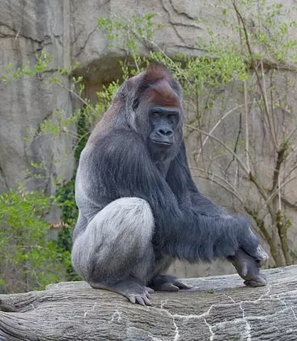 Western lowland gorilla facts