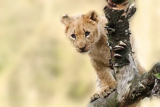 Baby Lion Facts