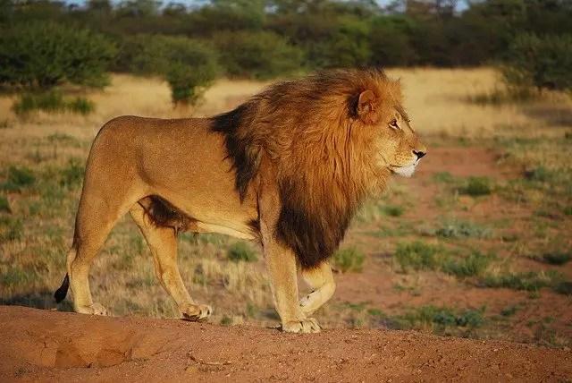 Lion Habitat