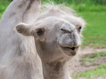 Camel Ear