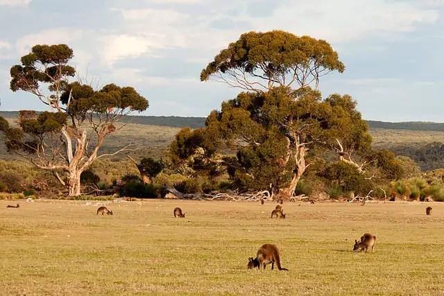 kangaroo habitat