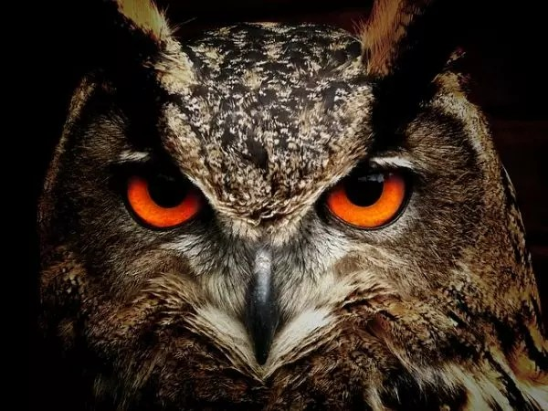 What Do Owls Eat - Owls Diet - Kidz Feed