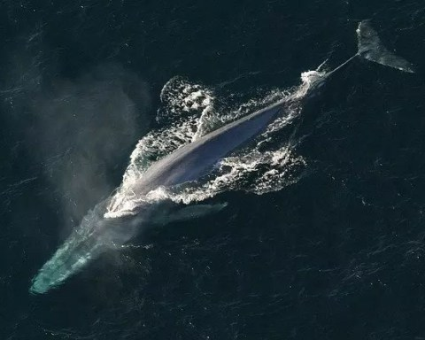 Blue Whale Facts For Kids