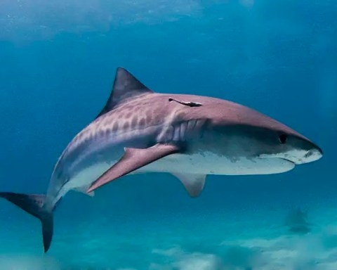 tiger shark facts for kids