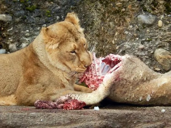 What Do Lions Eat - Lions Diet