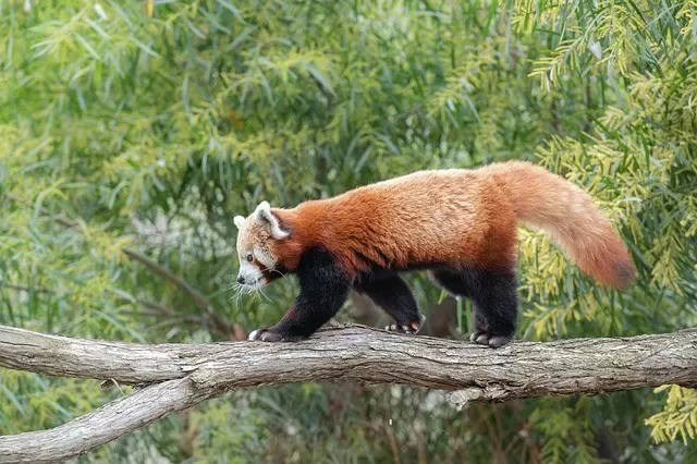 Red Panda Size