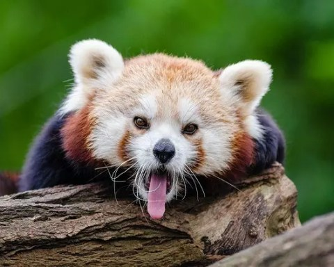 Red Panda Facts For Kids