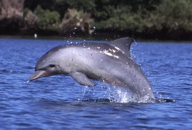 bottlenose dolphin facts