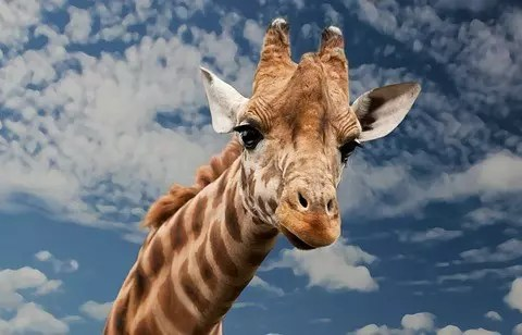 Giraffe Facts For Kids