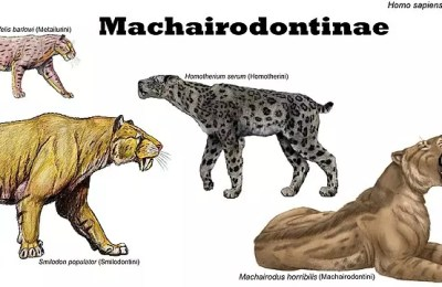 Saber Tooth Cat Facts